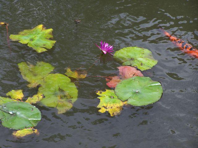 Lotus, China
